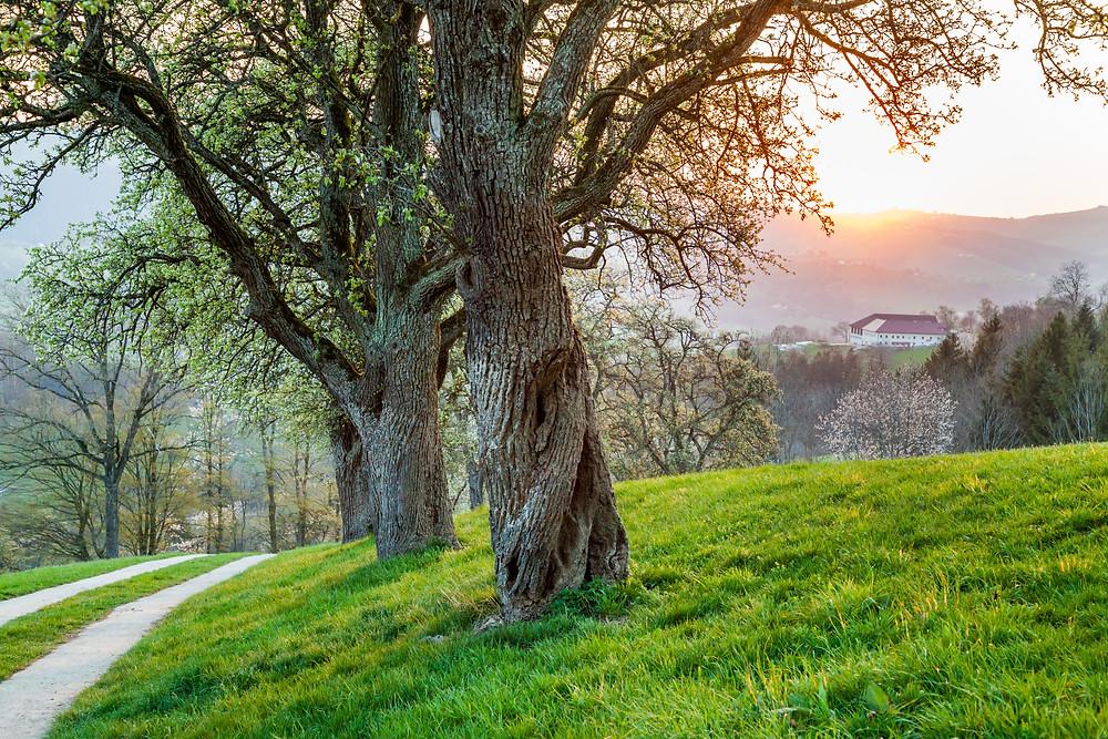 Mostviertel, Niederösterreich, Mostbirnbaum, Birnbaum, Birnbaumblüte, wandern, Wanderung, Wanderurlaub, Wanderreise, Urlaub, Sonnenuntergang, Ertl, Frühling