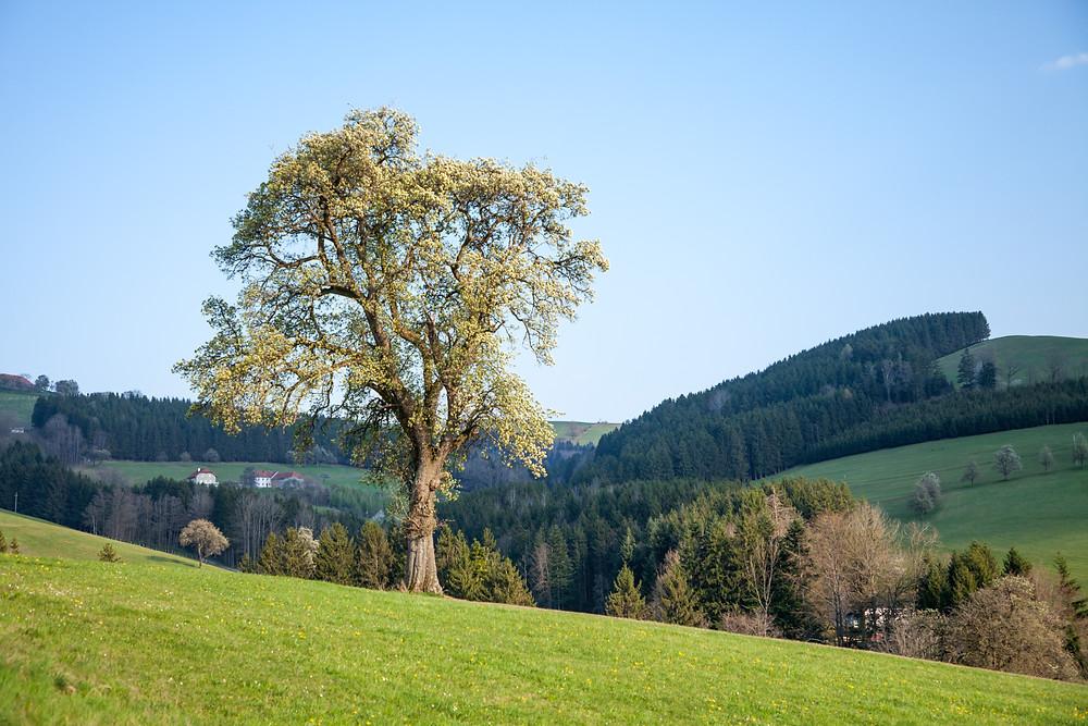 Mostbirnbaum, Birnbaum, Birnen, Most, Mostviertel, Niederösterreich, Wandern, Wanderung