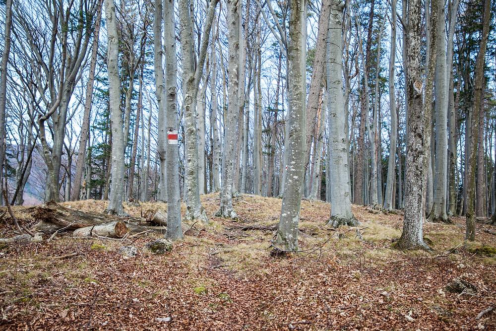 Buchenwald, Wanderweg, Wanderung, Wandern, Niederösterreich, Mostviertel, Lilienfeld, Schneerosenwarte