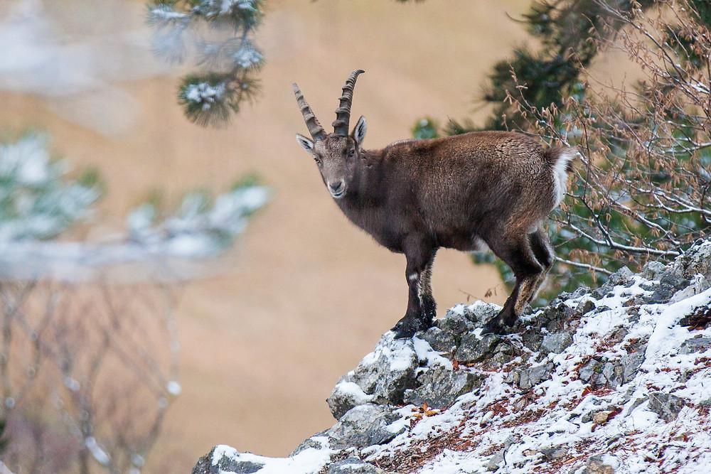 Tierfotografie, Gaisstein, Wienerwald, Steinböcke, Steinbock, Tele, Tiermotiv, Fotomotiv, Wandern, Wanderung, Niederösterreich, Winterwandern