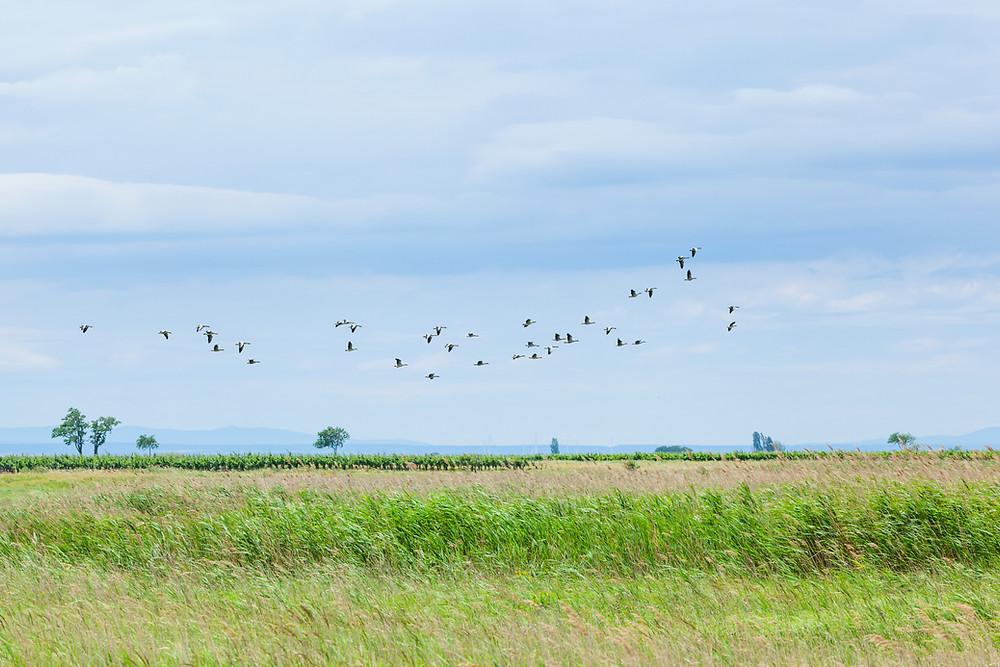 Vogel, Birdwatching, Lange Lacke, Neusiedler See, Neusiedlersee, Burgenland, Urlaub, Kurzurlaub, Radfahren, Radtour, Radrunde, Radurlaub,
