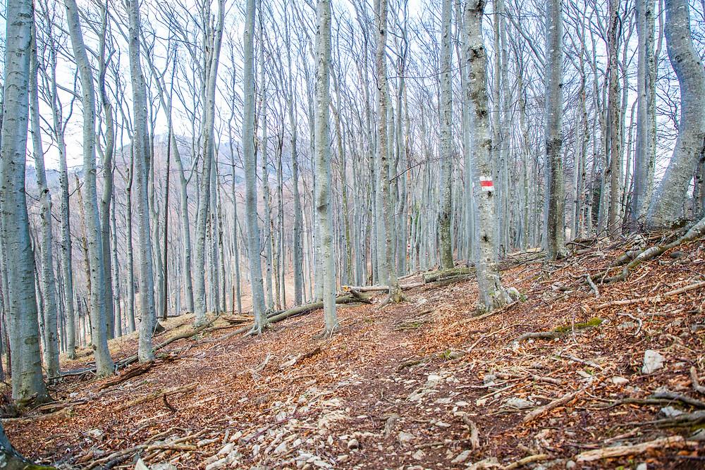 Buchenwald, Schneerosenwarte, Niederösterreich, Mostviertel, Lilienfeld, wandern, Wanderung, Wanderweg