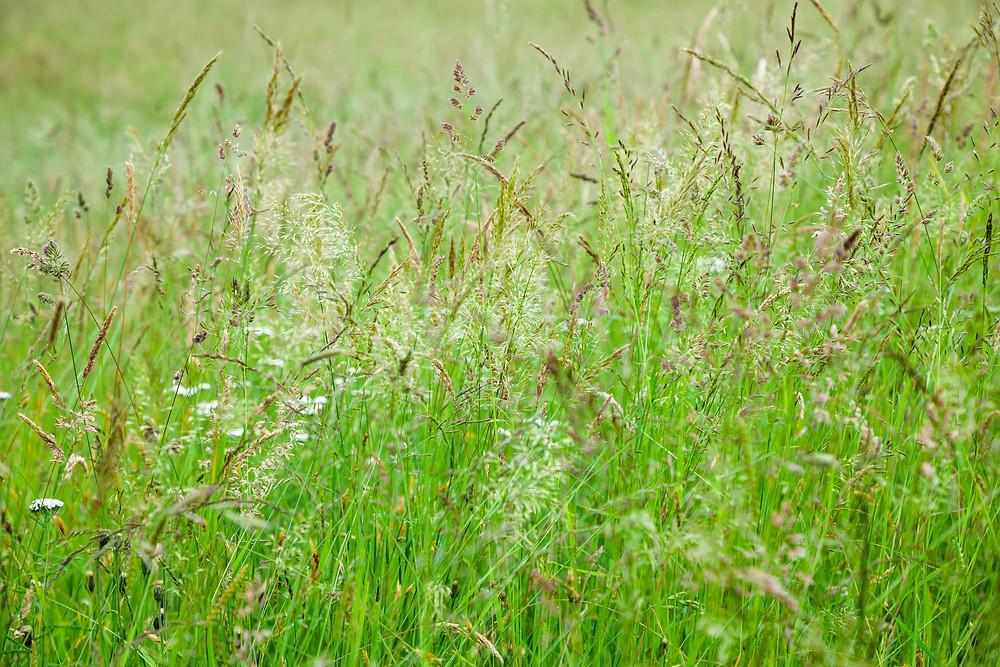 Gräser, Wiese, Gras, Blumenwiese, Blumen, Wiesenblumen, Natur, Mostviertel