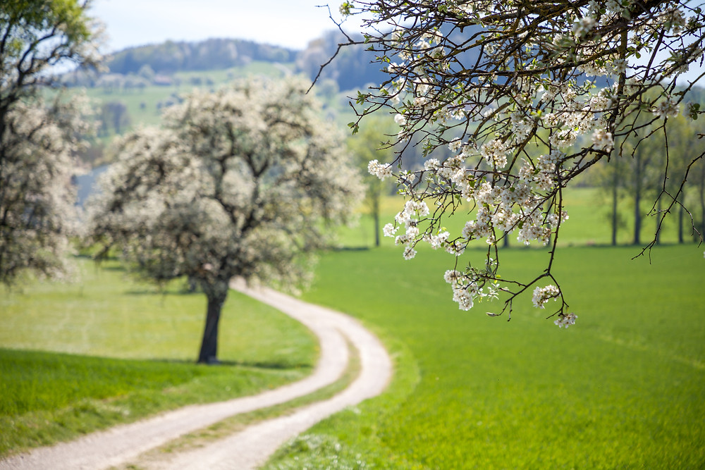 Mostbirnblüte, Mostbirnbaum, Mostviertel, Birnbaumblüte, Mostbirnbaumblüte, Niederösterreich, Mostobstwanderweg, Seitenstetten, Wandern, Ausflug, Frühling,, Baumblüte
