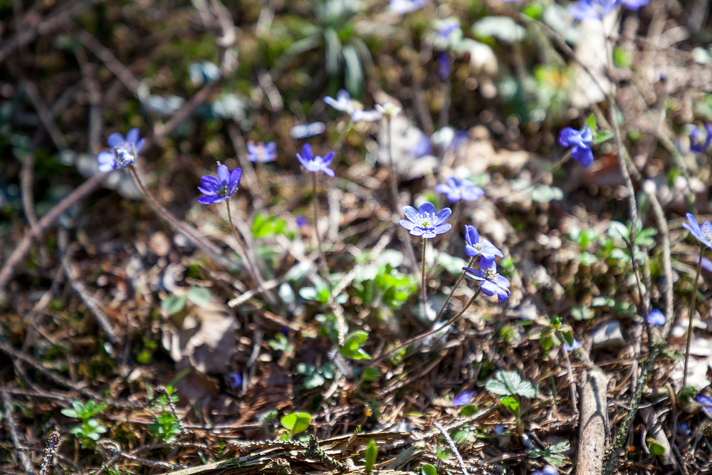 Leberblümchen, Waldblume, Frühling, Frühlingsblüher