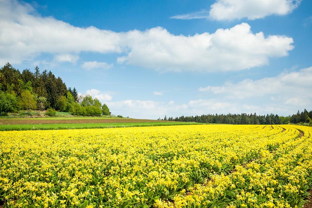 Himmelschlüssel, Schlüsselblume, Kräuter, Aubergwarte, Sonnentor, Kräuterwanderweg, Tutgut-Wanderweg, Sprögnitz, Waldviertel, Wald4tel, Niederösterreich, Wandern, Wandertipp, Ausflug