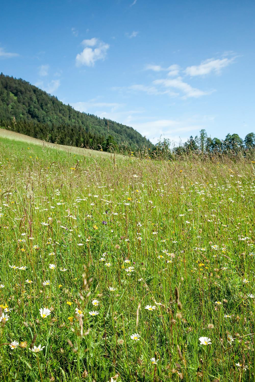 Blumenwiese, Almwiese, Blumen, Wiesenblumen, Gras. Annaberg, Annahm, Hennesteck, wandern, Wanderung, Ausflug, Niederösterreich, Mostviertel, Blumenwiese