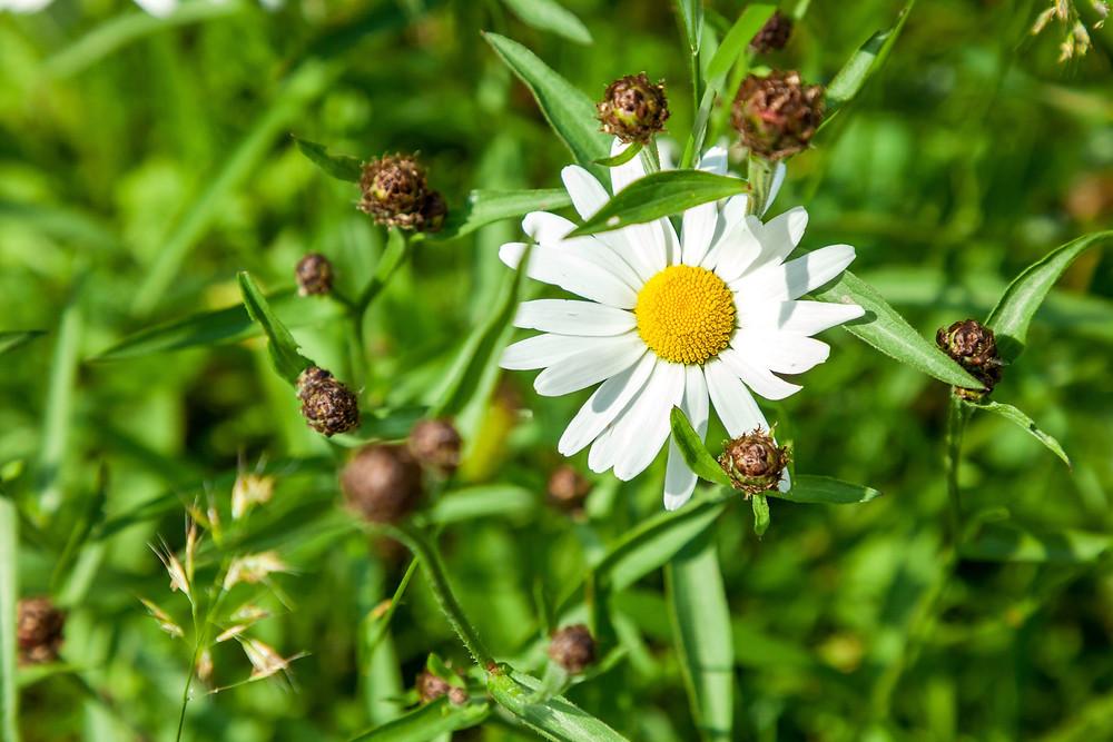 Margarite, Blume, Wiesenblume, Blumenwiese, Almwiese, Blumen, Wiesenblumen, Gras. Annaberg, Annahm, Hennesteck, wandern, Wanderung, Ausflug, Niederösterreich, Mostviertel