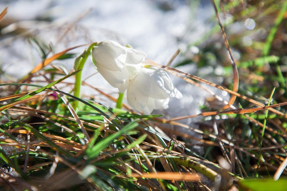 Schneerosen, Unterberg, Voralpen, Niederösterreich, Frühlingsblüher, Spätwinter, erste Blumen, Wandern, Wanderung,