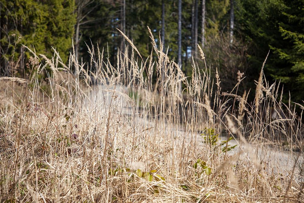 Waldweg, Forstweg, Waldviertel, Gras, hohes Gras, Niederösterreich