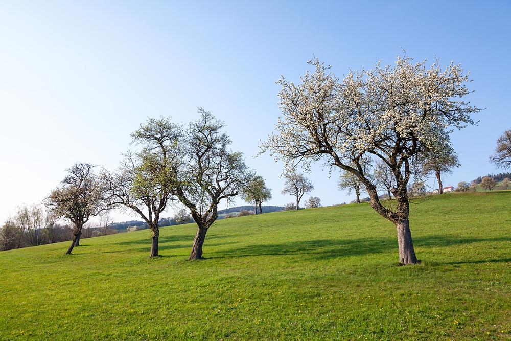 Mostbirnbaum, Birnbaum, Baumblüte, Obstbaum, Mostviertel, Niederösterreich, Streuobtwiese