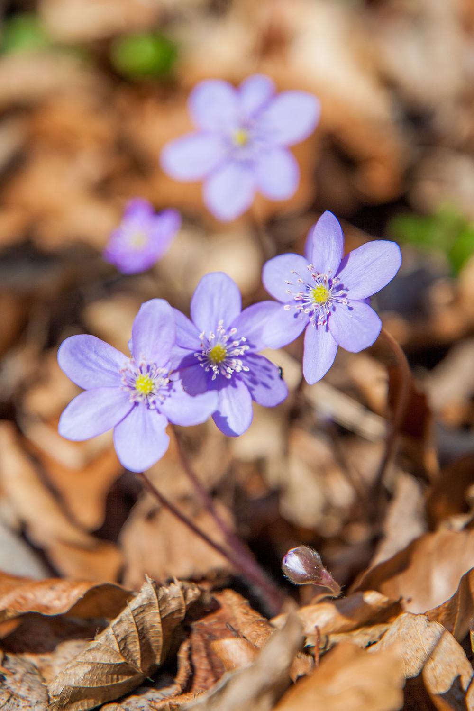 Leberblümchen, Frühling, Frühjahrsblüher, Lehenrotte, Lilienfeld, Voralpen, Niederösterreich, Wandern, Wanderung, einfache Wanderung