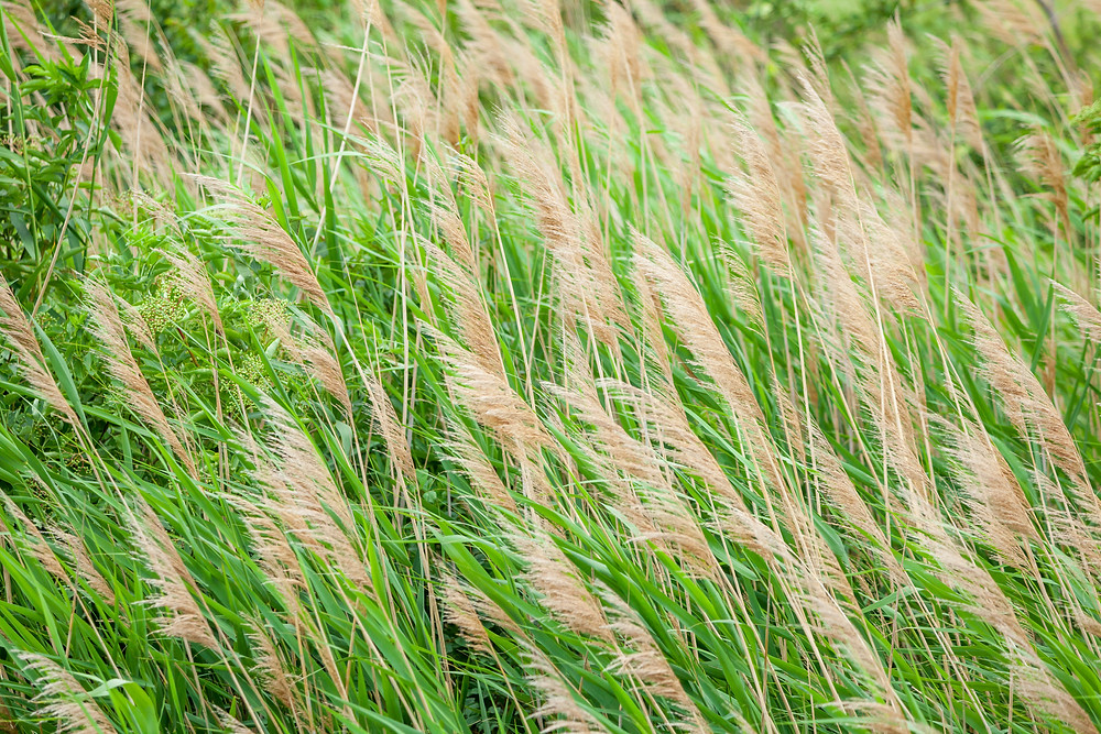 Gräser, Gras, Podersdorf, Neusiedler See, Neusiedlersee, Burgenland, Urlaub, Kurzurlaub, Reise