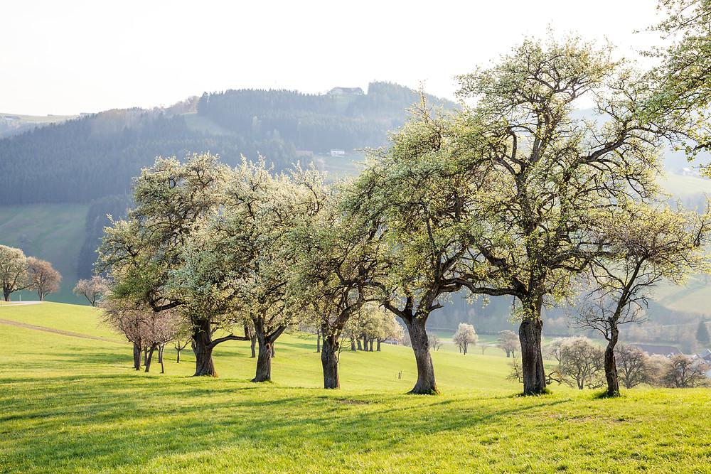 Mostbirnbaum, Birnbaum, Mostviertel, Niederösterreich, Baumblüte, Blüte, Wandern, Wanderung, Streuobstwiese, Alm