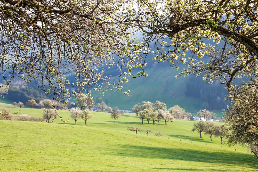 Mostbirnbaum, Birnbaum, Baumblüte, Blüte, Frühling, Mostviertel, Niederösterreich, Wandern, Wanderung