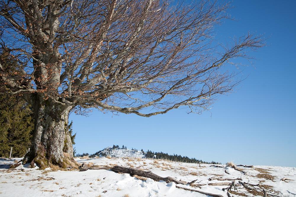 Einsamer Baum, Blochboden, Unterberg, Voralpen, Niederösterreich, Wandern, Wanderung, Winterwandern, Winter, Weide, Alm, Schnee, Baum, Winterbaum