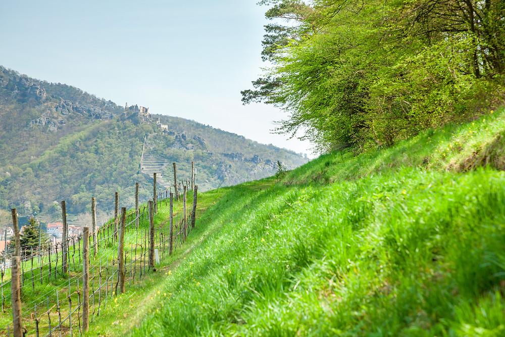 Wachau, Niederösterreich, wandern, Rossatz, Rührsdorf, Wildschweingraben, Panoramaweg, Donau, Donautal, Rundwanderung, Wandertipp, Wanderurlaub, Wanderreise, Urlaub, Dürnstein, Ruine Dürnstein