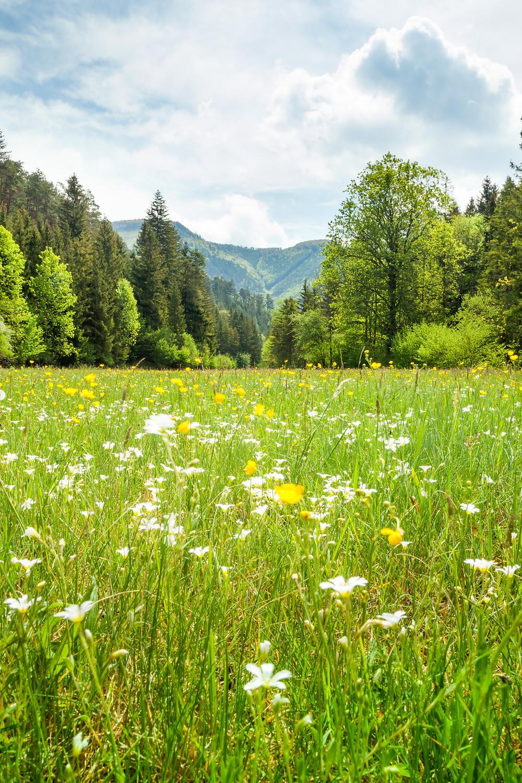 Kieneck, Enzianhütte, Ramsau, Voralpen, Wienerwald, Alpen, Wandern, Wandertipp, Niederösterreich, Ausflug, Alpenverein, Bergwandern, Bergtour, Blumenwiese, Blumen