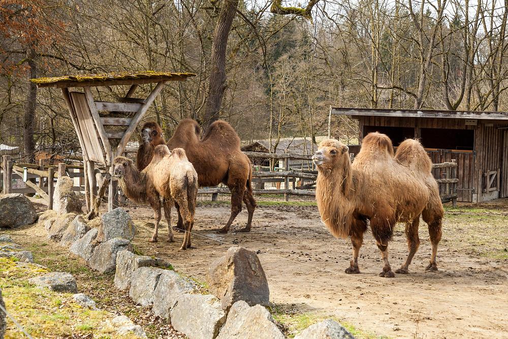 Tierpark Haag, Tierpark Stadt Haag, Tierpark, Mostviertel, NIederösterreich, Ausflug, ganzjährig, Niederösterreich-Card, Tiere, Wildtiere, Ausflugsziel, Erlebniswelt, Tiergarten, Kamel