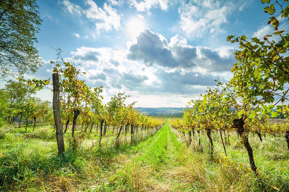 Wandern, Weinviertel, Niederösterreich, Wanderung, Weingarten, Weinstock, Weinberg