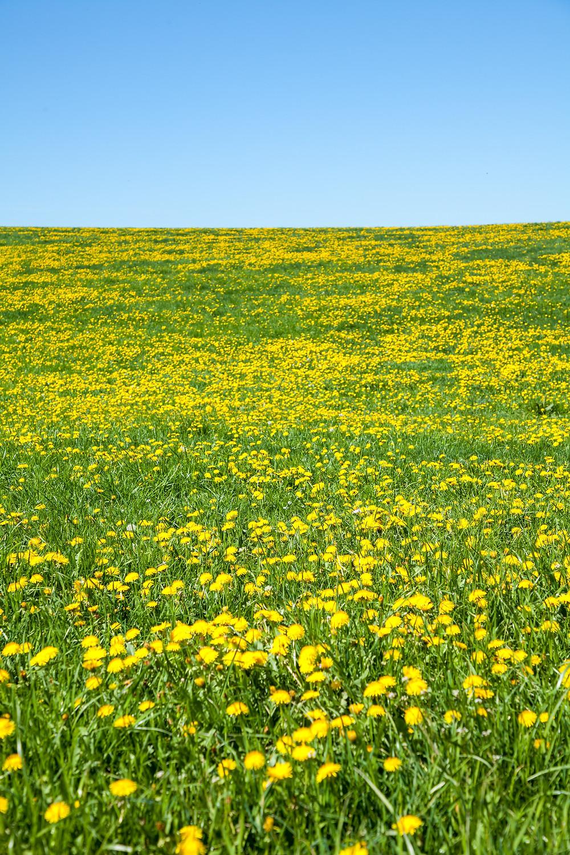 Löwenzahn, Pusteblume, Wiese, Mostviertel, Niederösterreich, Wandern, Ausflug, Mostobstwanderweg