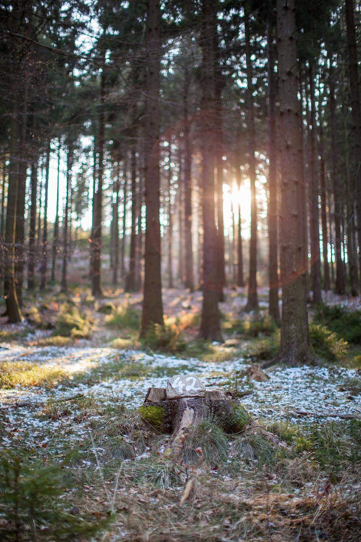 Nadelwald, Fichten, Wald, Waldviertel, Niederösterreich, Sonnenlicht