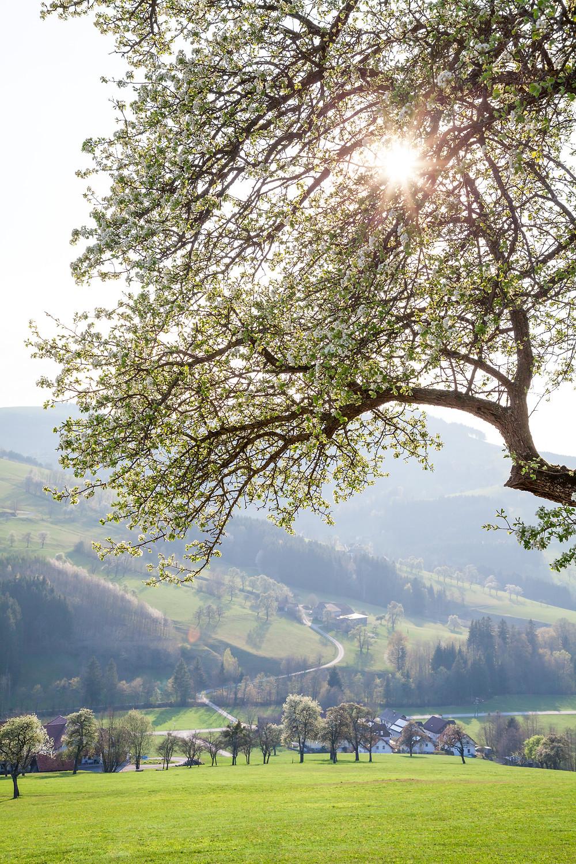Mostbirnbaum, Most, Birnbaum, Obstbaum, Baumblüte, Frühling, Blüte, Mostviertel, Niederösterreich