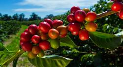 Shenton Coffee Cherries