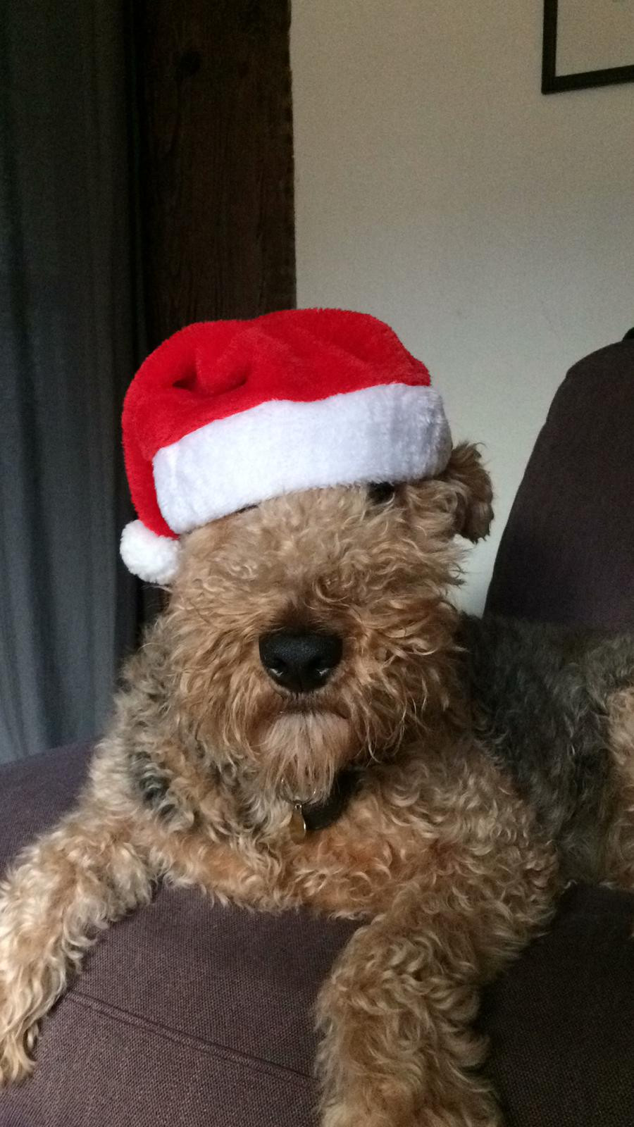 Ushie the Airdale Terrier sits in his Santa hat.
