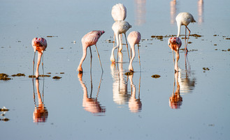 15 - Lesser and Greater Flamingos plankton feeding.