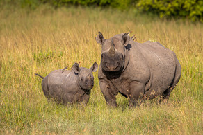 10 - Mum Black Rhino with baby and Ox-Peckers.