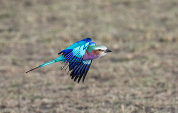 14 - Lilac breasted Roller in flight.