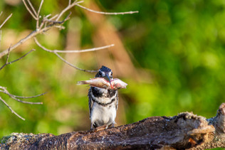 24 - Pied Kingfisher with catch.