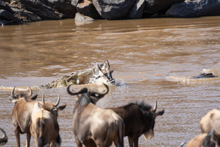 02 - Crossing the Mara river. Fraught with danger