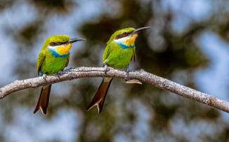 31 - Swallow Tailed Bee-eater.
