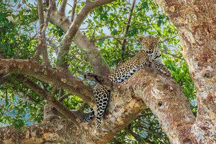 05 - Leopards are great climbers