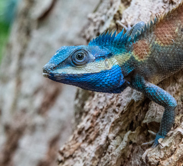 Kim Wealleans - 28-Blue Crested Lizard.