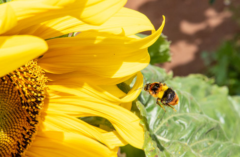 Kim Wealleans - 23-Making a bee-line for the sunflower
