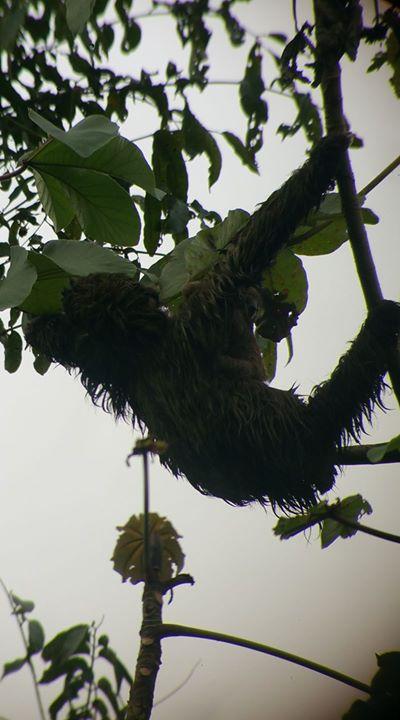 Costa Rican Sloth