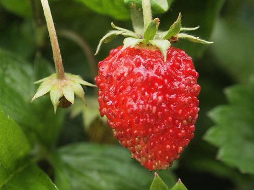 Wild Alpine Strawberry Seeds