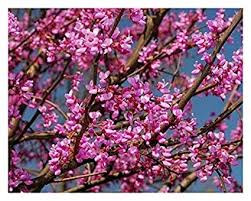 Redbud Tree's Are Not Just For Show