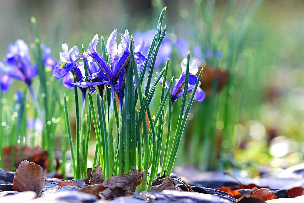 nettled-iris-4857753_1920.jpg