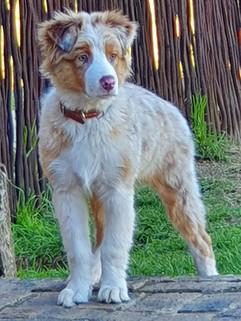 SS_Puppy_Ausie.jpg