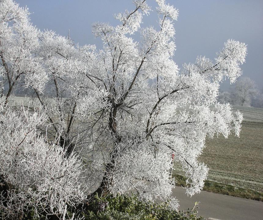 Perückenbaum