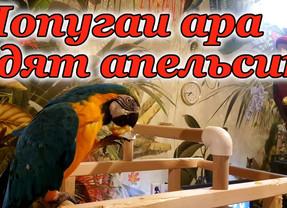 Попугаи ара едят апельсин