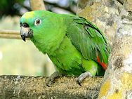 ZHeltolobyj-amazon-Amazona-ochrocephala-