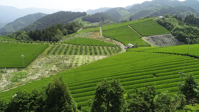 Onomi tea plantation.JPG