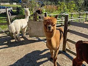 alpaca.4.jpg