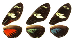 The structure of wing coloration