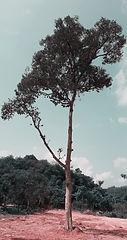 pokok durian.jpg